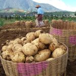 Potatoes grown in the Dieng Plateau (****) (Photo by Midori)